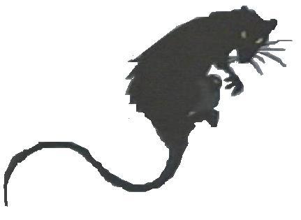 File:Rat 2.jpg