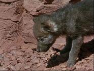 1962-lobo-2