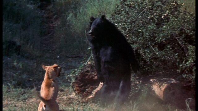 File:Old Yeller vs the Mother Bear.jpg