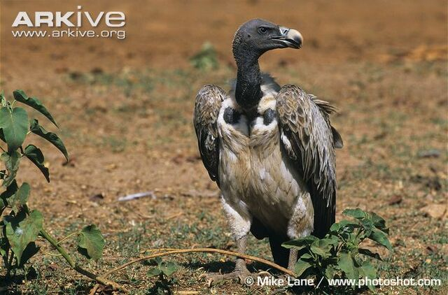 File:Indian Vulture.jpg
