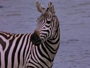 1. Plains Zebra
