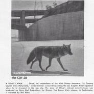 A Country Coyote Goes Hollywood print ad 2