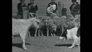 File:Arizona sheepdog.jpg