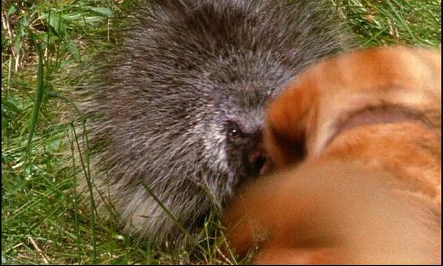 File:63-the-incredible-journey-ooooh-luath-you-had-better-be-careful-with-porcupines.JPG