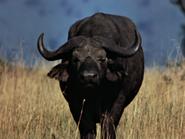 15. Cape Buffalo