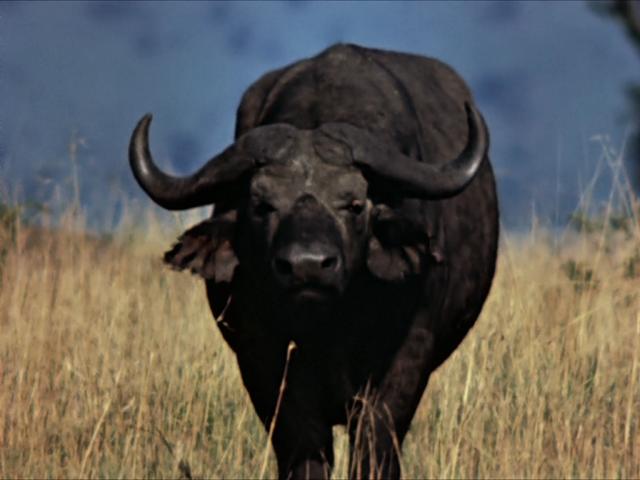 File:15. Cape Buffalo.PNG