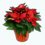 ChristmasDecor - Red Poinsettia