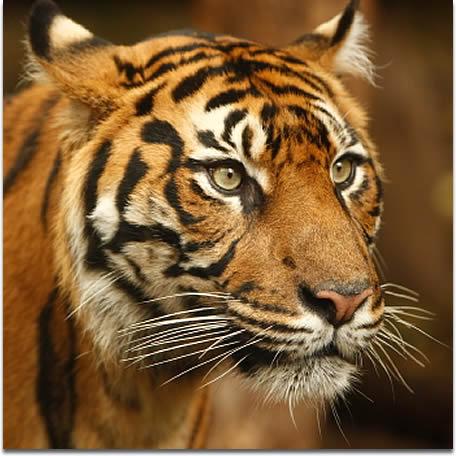 File:Sumatran-tiger-a.jpg
