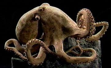 Chopstick octopus