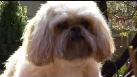 Dogs101 Lhasa Apso