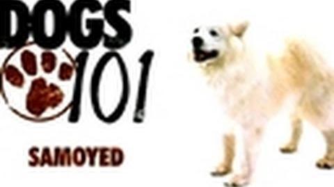 Dogs 101- Samoyed