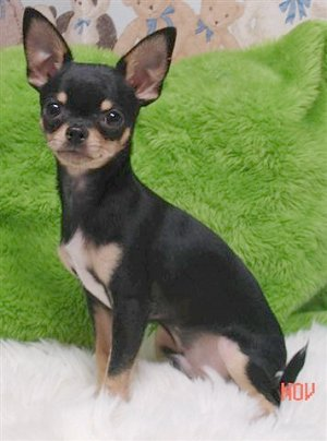 File:ChihuahuaViansBigMacAttackMac3.jpg