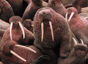 800px-Walrus2