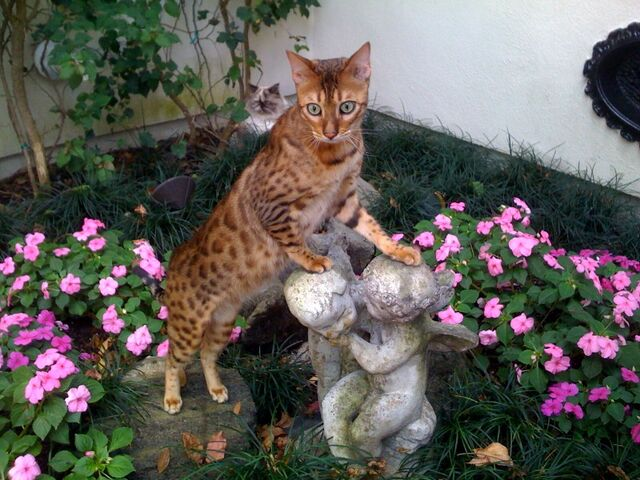 File:Bengal in a gorgeous garden.jpg