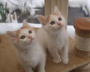 Pretty Turkish Van kittens