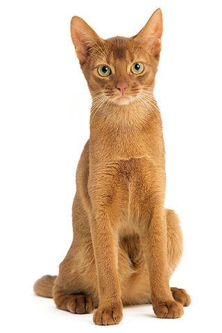 File:Abyssinian Cat.jpg