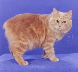 File:Cymric cat 2.jpg
