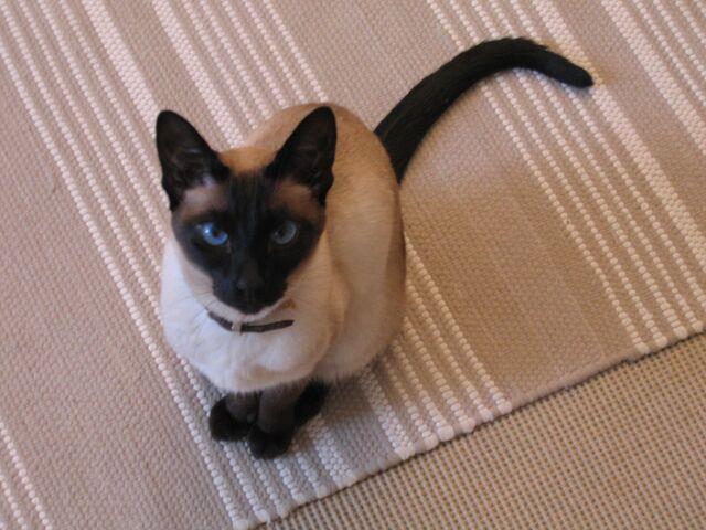 File:Siamese cat sitting.jpg
