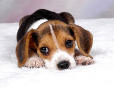 File:Beagle Puppy.jpg