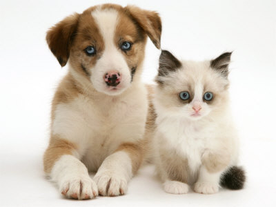 File:Merle Border Collie puppy with Birman Cross kitten.jpeg