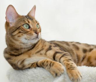File:Bengal cat 2.jpg