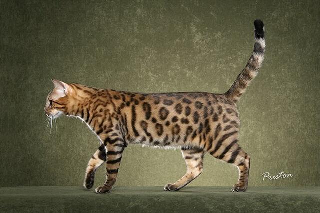 File:Bengal cat 6.jpg