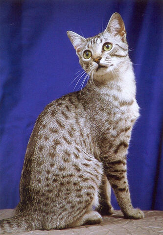 File:Egyptian Mau Cat 2.jpg