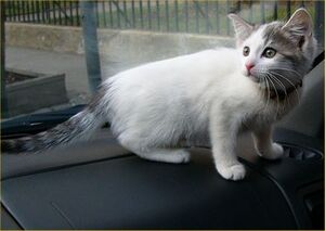Turkish Van cat 2