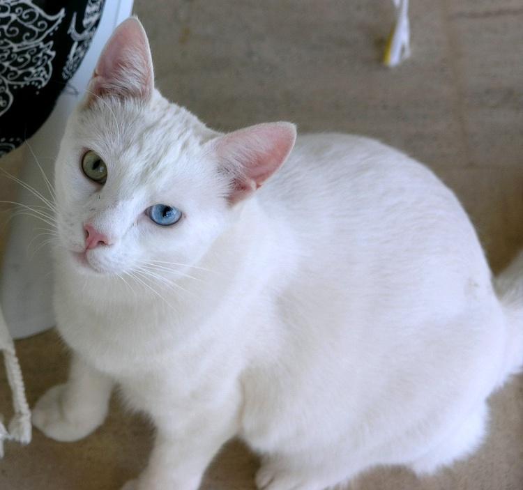 Turkish van cat information