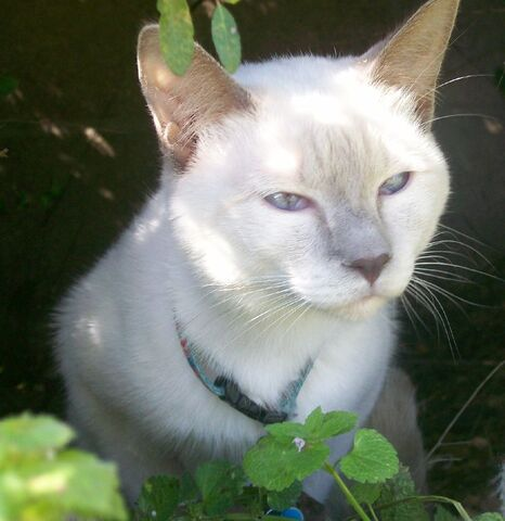File:Lillac Point Siamese headshot.jpg