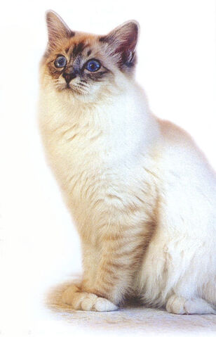 File:Tabby-point-female-birman-cat.jpg