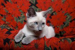 Lillac Point Siamese kitten 2