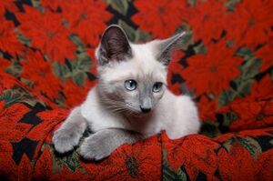 Lillac Point Siamese kitten 2