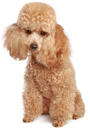 Toy-poodle
