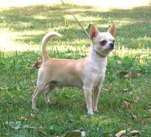 File:Chihuahua Male.jpg