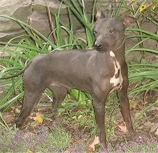 File:American hairless terrier.jpg