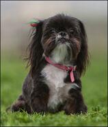Dark-brown-white-cute-dog