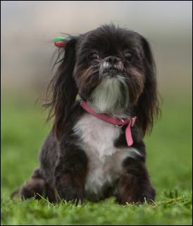 File:Dark-brown-white-cute-dog.jpg