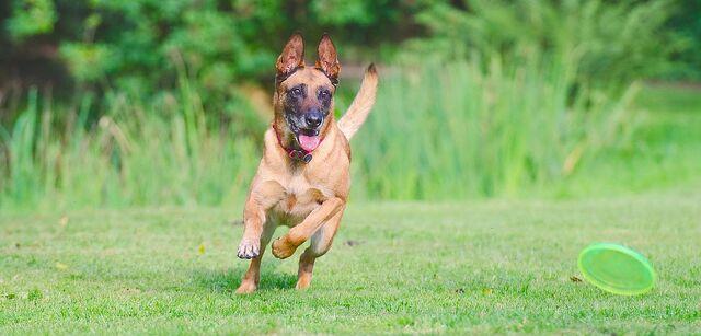 File:Belgian Malinois Chasing a Frisbee.jpg