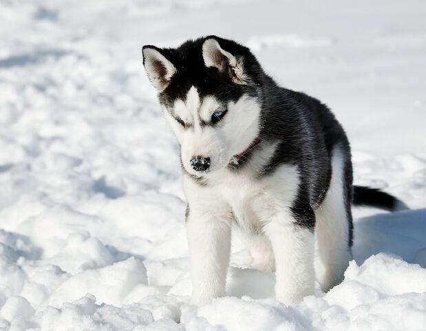 File:Husky-siberien-.jpg