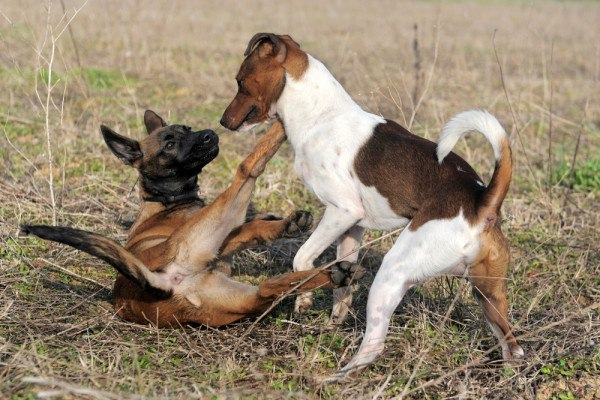 File:Belgian Malinois and Jack Russell Terrier Playing.jpg