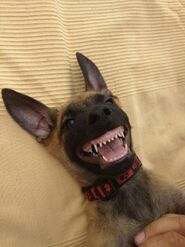Belgian Malinois Puppy Smiling