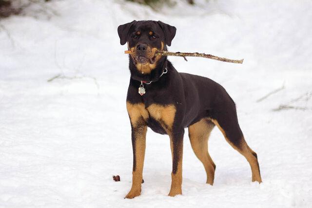 File:03 Snow Bunny Talitha Rottweiler.jpg
