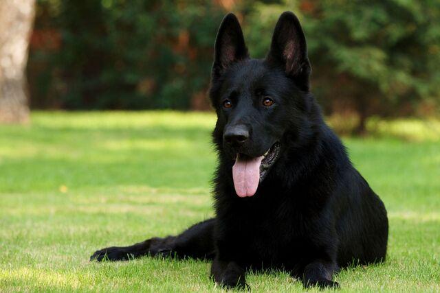 File:Black-German-Shepherd-11.jpg