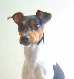 File:Brazilian terrier.jpg