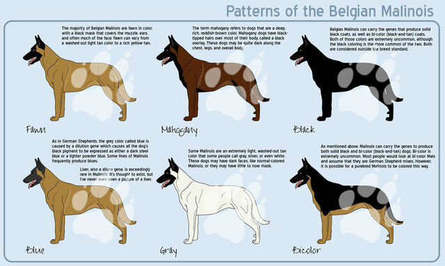 File:Belgian Malinois Coat Color.jpg