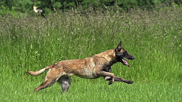 File:Belgian Malinois Running in Field.jpg