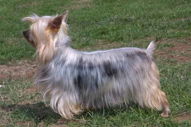 File:Australian Silky Terrier.jpg