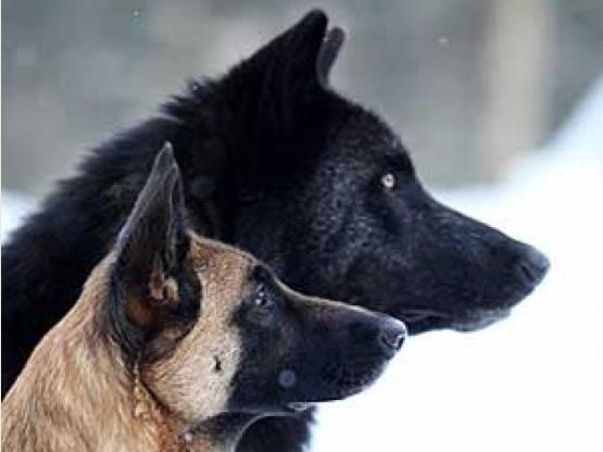 File:Belgian Malinois and Wolf.jpg
