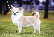 Chihuahua-long-m002